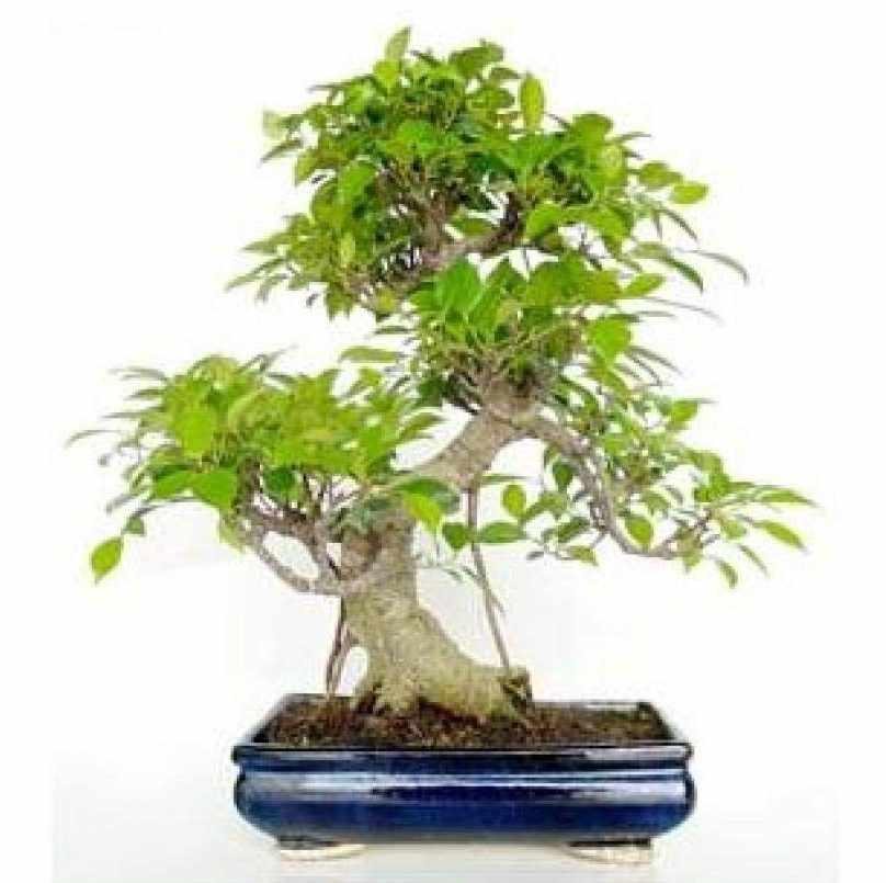 Ficus retusa mistral