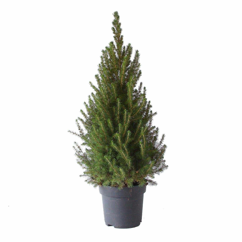 Picea glauca 85 cm
