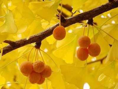 Fruto del ginkgo en otoño