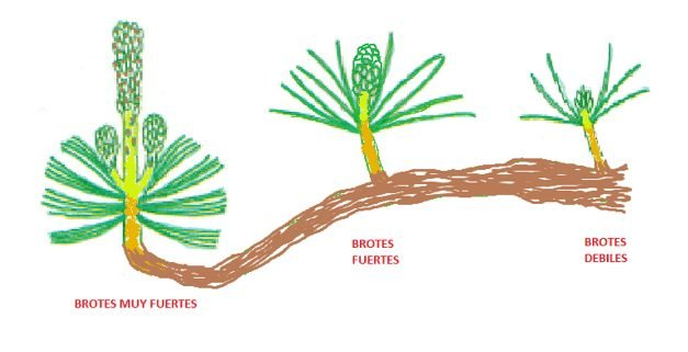 brotes en rama según su zona