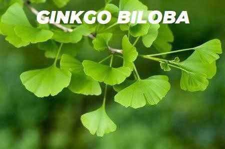 GINKGO BILOBA ESPECIES