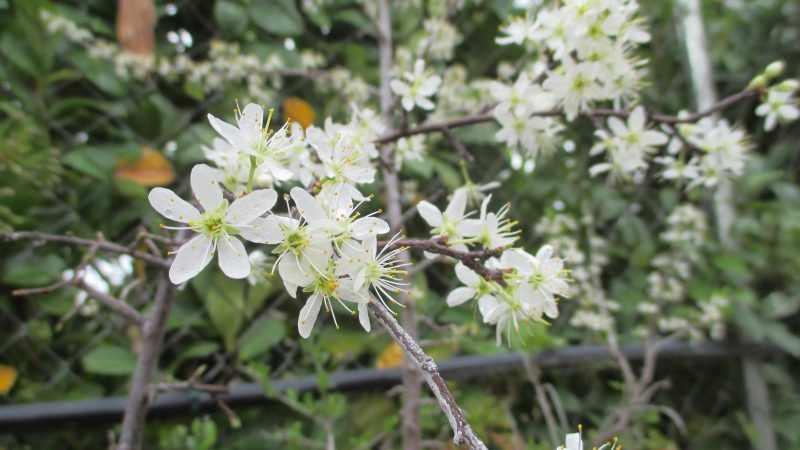 Flor del Prunus spinosa (Endrino)