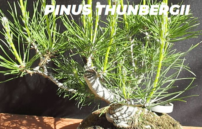 PINUS THUNBERGII ESPECIES