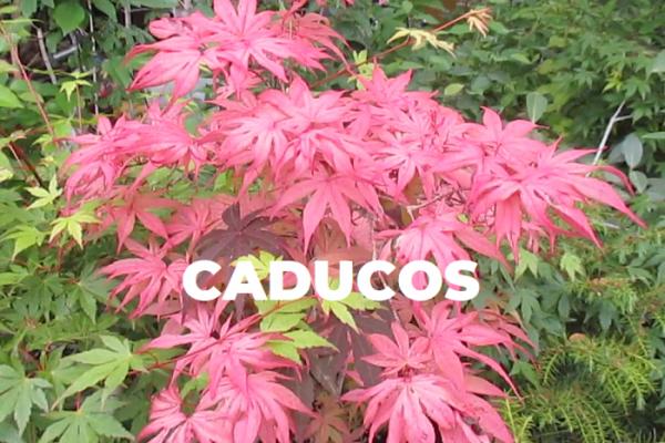 CADUCOS ARCE PALMATUM ESPECIES