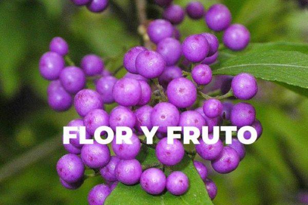 CALLICARPA FLOR Y FRUTO ESPECIES