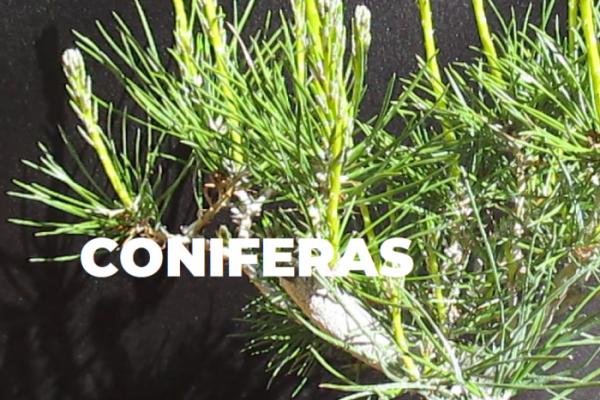 CONIFERAS ESPECIES BONSAI