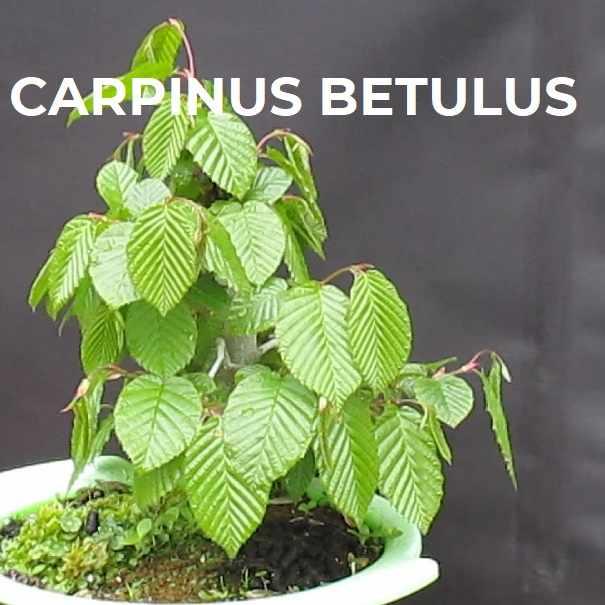 CARPINUS BETULUS FICHA TRIBUBONSAI