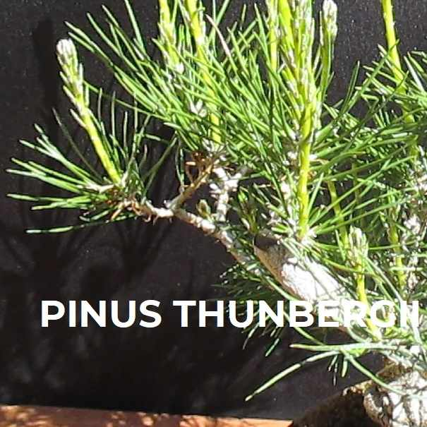 PINUS THUNBERGII FICHA TRIBUBONSAI