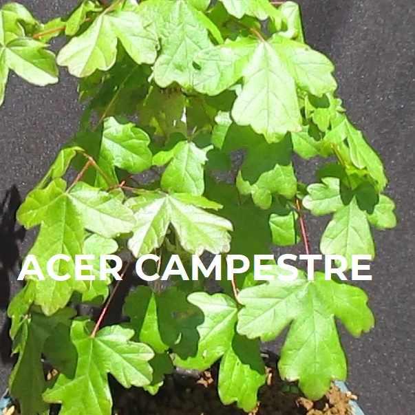 FICHA DEL ARCE CAMPESTRE 600X600