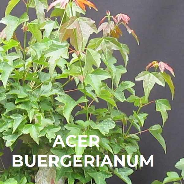 ACER BUERGERIANUM ESPECIES TRIBUBONSAI