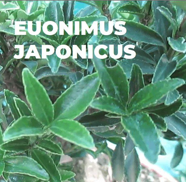 EUONIMUS JAPONICUS ESPECIES TRIBUBONSAI