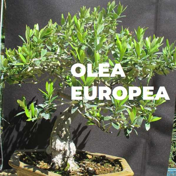 OLEA EUROPEA ESPECIES TRIBUBONSAI