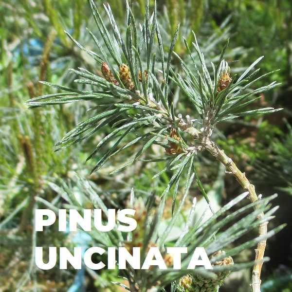 PINUS UNCINATA ESPECIES TRIBUBONSAI