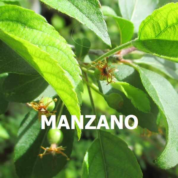 MANZANO MALUS ESPECIES TRIBUBONSAI