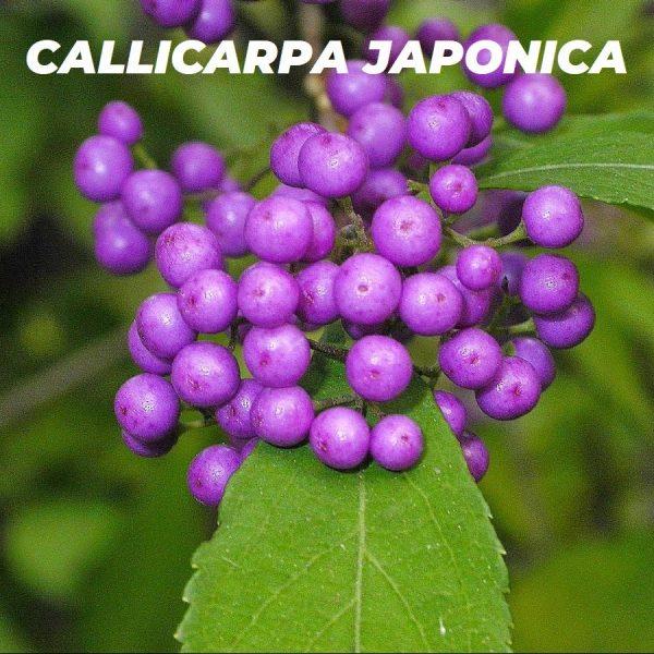 CALLICARPA JAPONICA ESPECIES