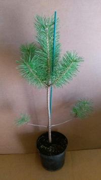 Pinus sylvestris en 1,5 litros