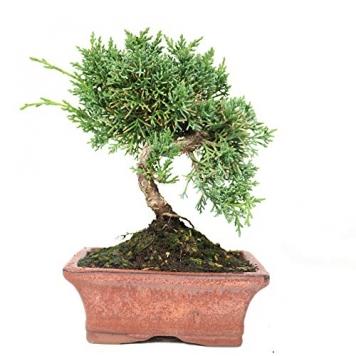 Juniperus chinensis 8 años